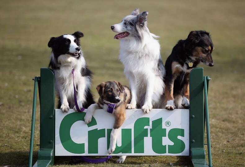 Collie cross Tiff (2nd left), a five-month-old homeless rescue dog joins Collie dogs Holly (L) Frost