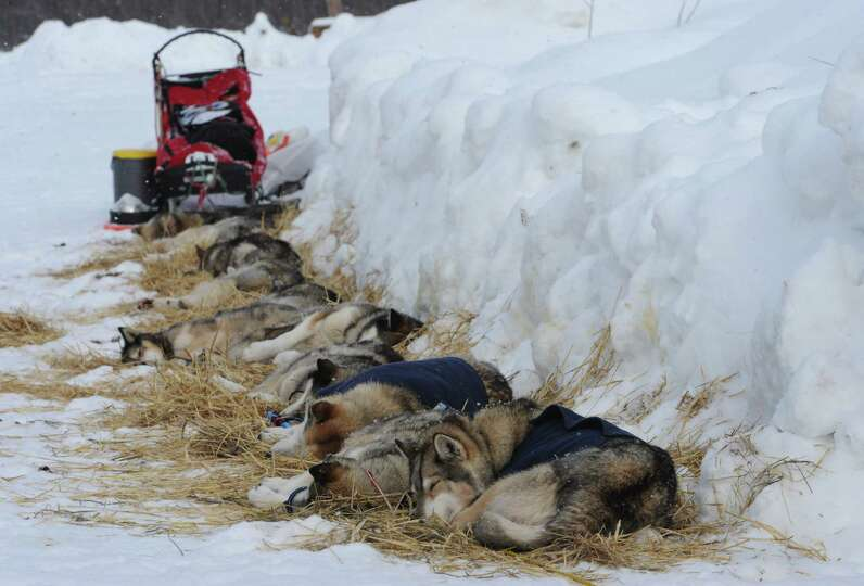 Iditarod sled dogs from Mike Ellis rest at the McGrath checkpoint on Wednesday, Mar. 6, 2013.