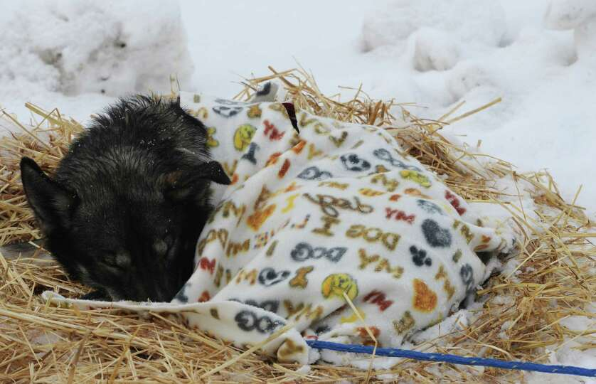 An Iditarod sled dog sleeps under a blanket at the McGrath checkpoint on Wednesday, March 6, 2013.