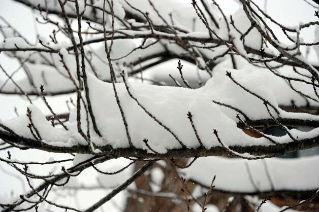 Tree branches are laden with snow Friday morning, March 8, 2013. Photo: Carol Kaliff / The News-Times