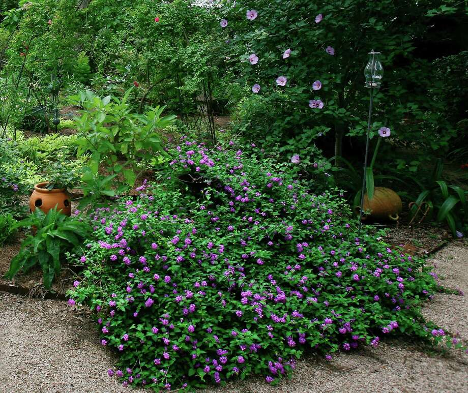 Prune lantana in late winter/early spring for dense growth with more blooms. John Everett photo Photo: John Everett / John Everett