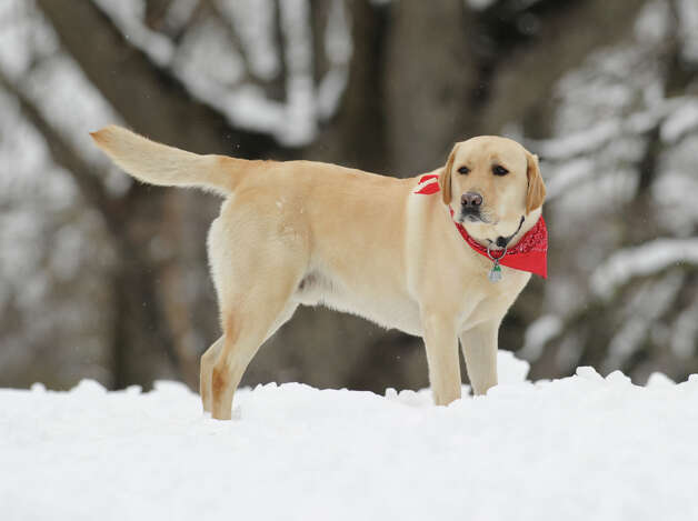 Milo, a yellow lab belonging to the Vincent family, during the snow storm that hit Greenwich, Friday, March 8, 2013. Photo: Bob Luckey / Greenwich Time