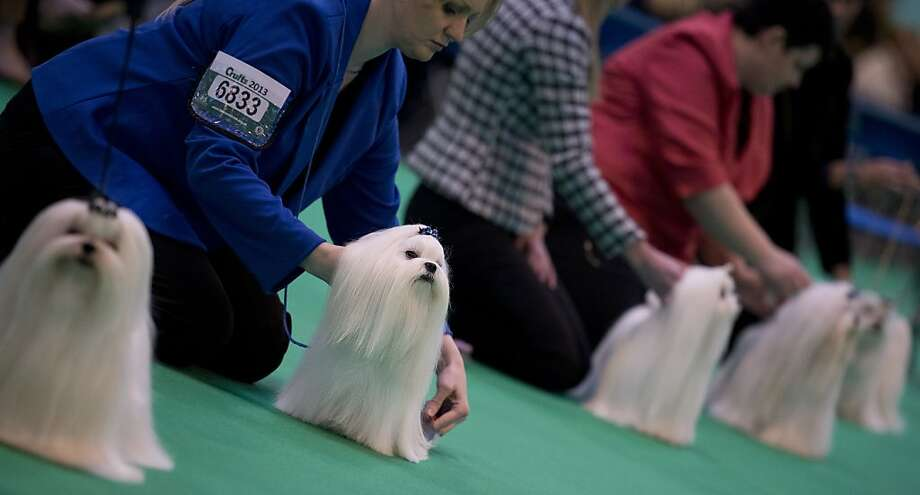 "Maltese dogs are seen in the show ring on the second day of the Crufts dog show in Birmingham, in central England on March 8, 2013. The annual event sees dog breeders from around the world compete in a number of competitions with one dog going on to win the ""Best in Show"" category. Photo: Ben Stansall, AFP/Getty Images"