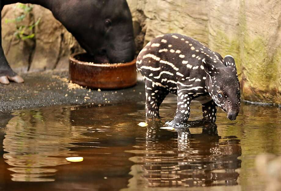 "No matter how hard I scrub, these spots won't come off! A month-old Malayan tapir takes a bath at the ""Gondwanaland"" of the zoo in Leipzig, Germany. Photo: Jan Woitas, AFP/Getty Images"