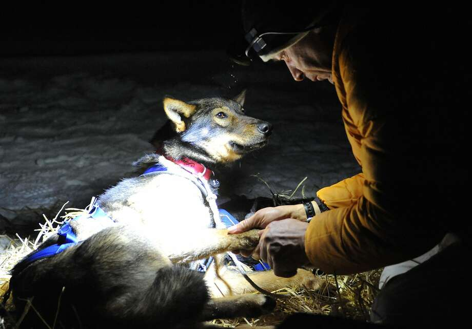 Four-time Iditarod champion Martin Buser examines one of his dogs after becoming the first musher to reach the Yukon River when he arrived in the Anvik checkpoint at 2:17 a.m., Friday, March 8, 2013. (Bill Roth/Anchorage Daily News/MCT) Photo: Bill Roth, McClatchy-Tribune News Service