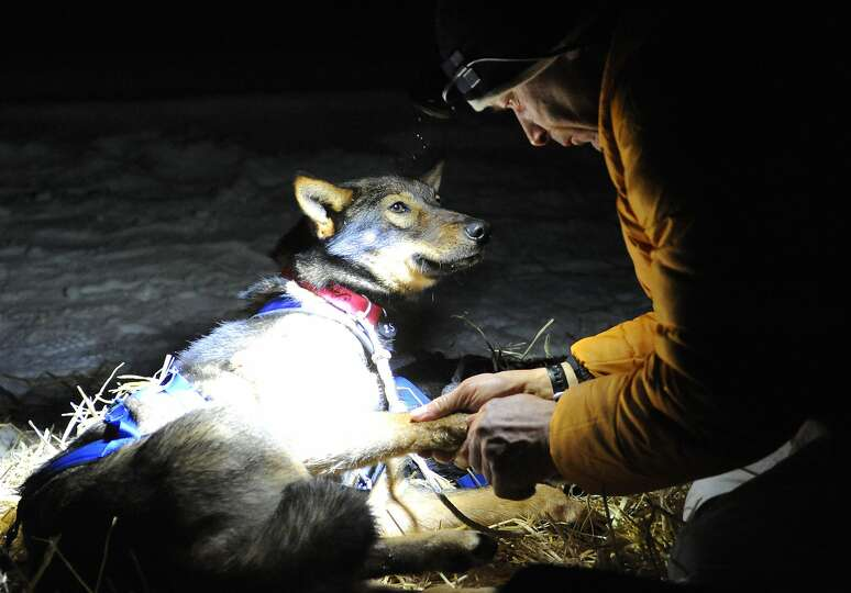 Four-time Iditarod champion Martin Buser examines one of his dogs after becoming the first musher to