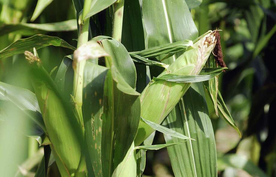 For a successful corn crop, plant close together and keep an eye out for corn ear worms. Photo: Associated Press