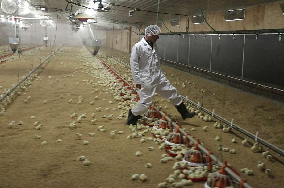 Dr. Bob O'Connor, one of two Foster Farms veterinarians, steps carefully as he walks through flocks of baby chicks at Foster Farms' new research facility at Fresno State University that is to be dedicated Monday. Photo: Paul Chinn, The Chronicle
