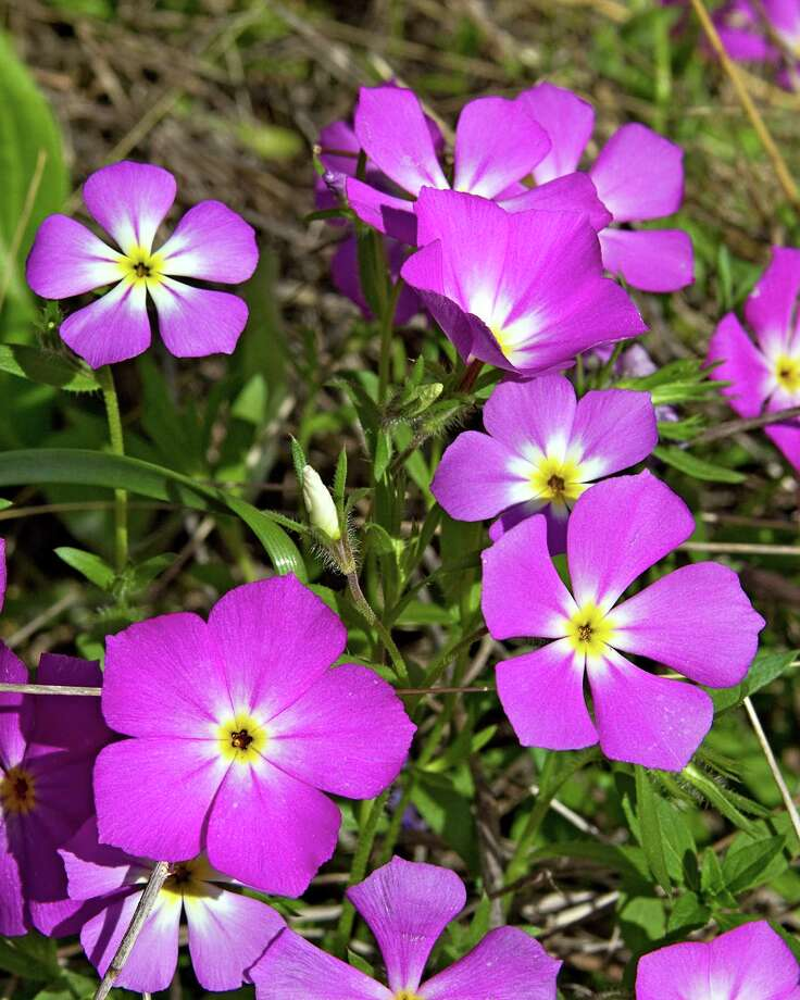 Phlox blooms along the Joe Johnston Trail at Government Canyon State Natural Area in San Antonio. Courtesy Rich Olivieri/WildflowerHaven.com Photo: Rich Olivieri, Photographer / handout / SAEN files