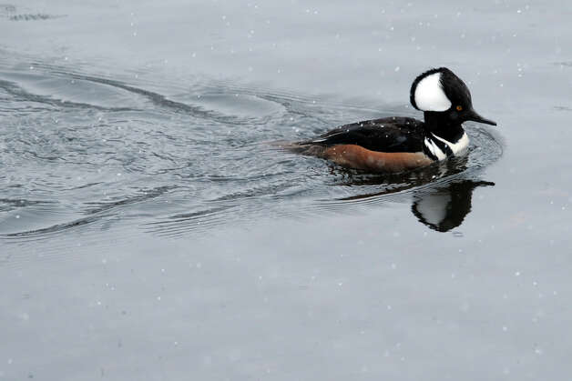 A Hooded Merganser spends a snowy morning on Cook's Pond, in Stratford, Conn. March 8th, 2013. Photo: Ned Gerard