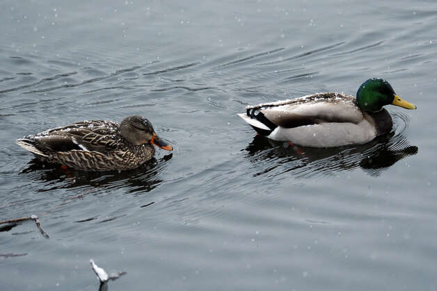 A pair of Mallard ducks spend a snowy morning on Cook's Pond, in Stratford, Conn. March 8th, 2013. Photo: Ned Gerard