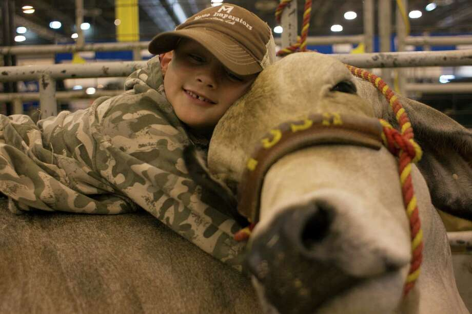 "J.D. Sartwelle, 8, plays with his Brahman heifer, Sugie. He showed her in the Junior Breeding Beef Heifer Show. ""We are not going to butcher her, she means a lot to me,"" J.D. said. ""She makes me feel like I'm more responsible."" J.D. is the great-great-grandson of J.W. Sartwelle,the founder of the Houston Livestock Show and Rodeo. Photo: Johnny Hanson, Houston Chronicle / © 2013  Houston Chronicle"