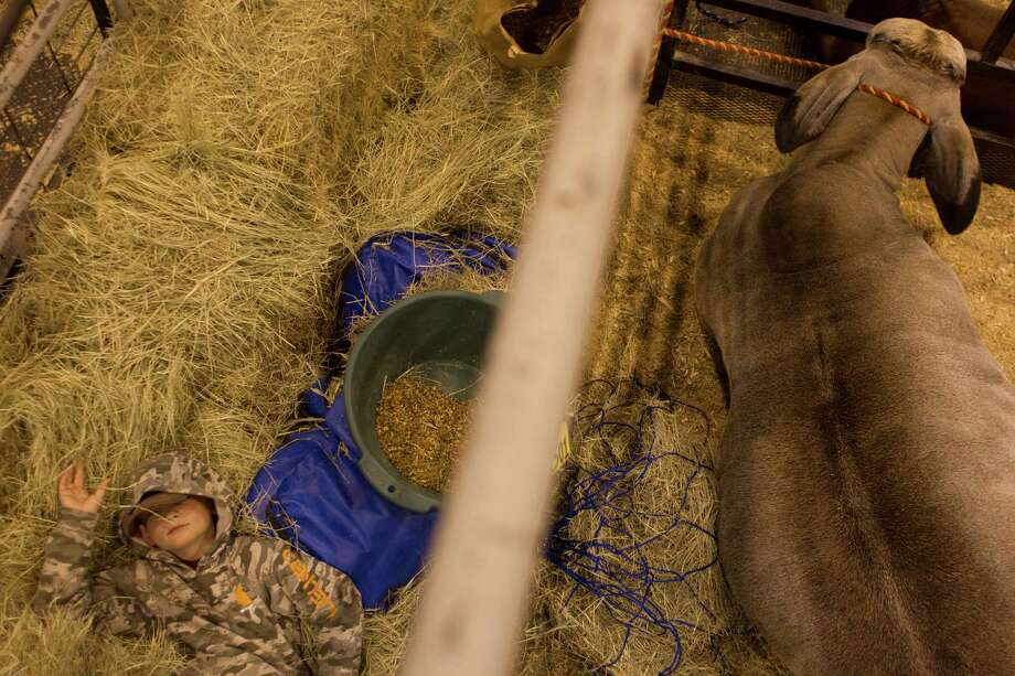 J.D. Sartwelle, 8, rests next to Sugie. J.W. Sartwelle started the show, then called the Houston Fat Stock Show and Livestock Exposition, in 1932. For generations, the family has been active and participated at the stock show. Photo: Johnny Hanson, Houston Chronicle / © 2013  Houston Chronicle