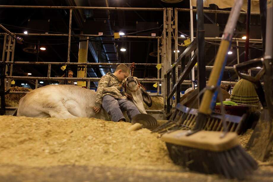 J.D. Sartwelle, 8, snuggles with his Brahman heifer named Sugie that he was going to show in the Junior Breeding Beef Heifer Show at the Houston Livestock Show and Rodeo at Reliant Center Friday, March 8, 2013, in Houston. J.D. made the cut out of 19 competitors and placed 12th in his division. Photo: Johnny Hanson, Houston Chronicle / © 2013  Houston Chronicle