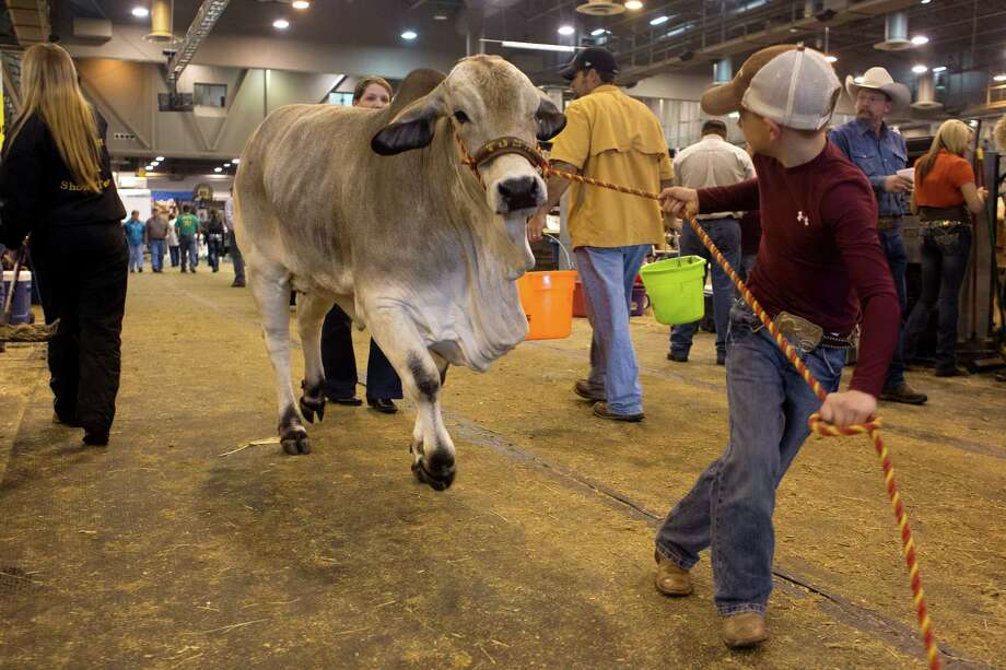 J.D. Sartwelle, 8, walks his Brahman heifer named Sugie to participate in the Junior Breeding Beef Heifer Show at the Houston Livestock Show and Rodeo at Reliant Center Friday, March 8, 2013, in Houston. Photo: Johnny Hanson, Houston Chronicle / © 2013  Houston Chronicle