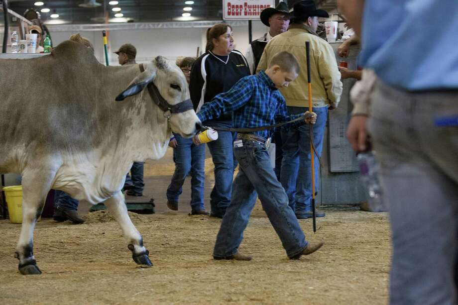 J.D. Sartwelle, 8, walks his Brahman heifer named Sugie to participate in the Junior Breeding Beef Heifer Show. Photo: Johnny Hanson, Houston Chronicle / © 2013  Houston Chronicle