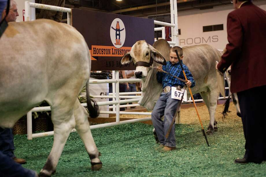 J.D. Sartwelle, 8, struggles to stop his Brahman heifer named Sugie as he participated in the Junior Breeding Beef Heifer Show. Photo: Johnny Hanson, Houston Chronicle / © 2013  Houston Chronicle