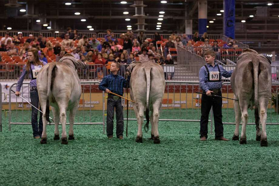 J.D. Sartwelle, 8, shows his Brahman heifer named Sugie as he participated in the Junior Breeding Beef Heifer Show. Photo: Johnny Hanson, Houston Chronicle / © 2013  Houston Chronicle