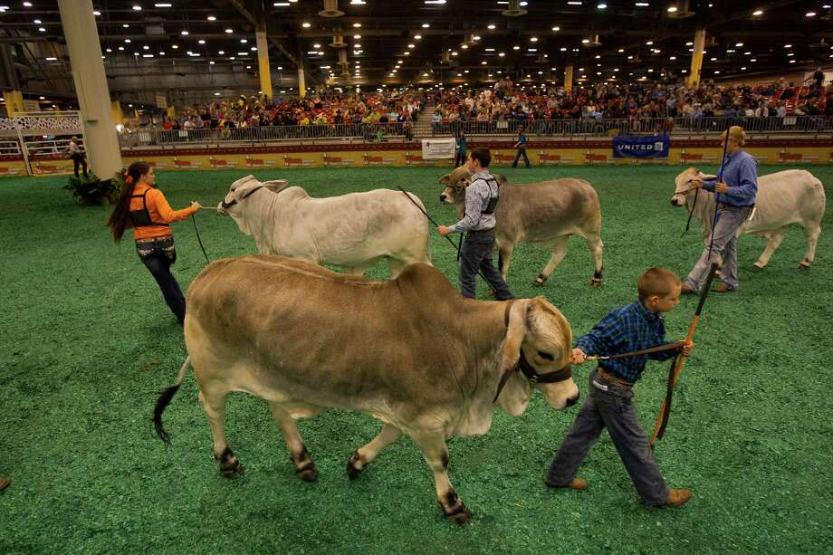 J.D. Sartwelle, 8, shows his Brahman heifer named Sugie as he participated in the Junior Breeding Beef Heifer Show at the Houston Livestock Show and Rodeo at Reliant Center Friday, March 8, 2013, in Houston. Photo: Johnny Hanson, Houston Chronicle / © 2013  Houston Chronicle