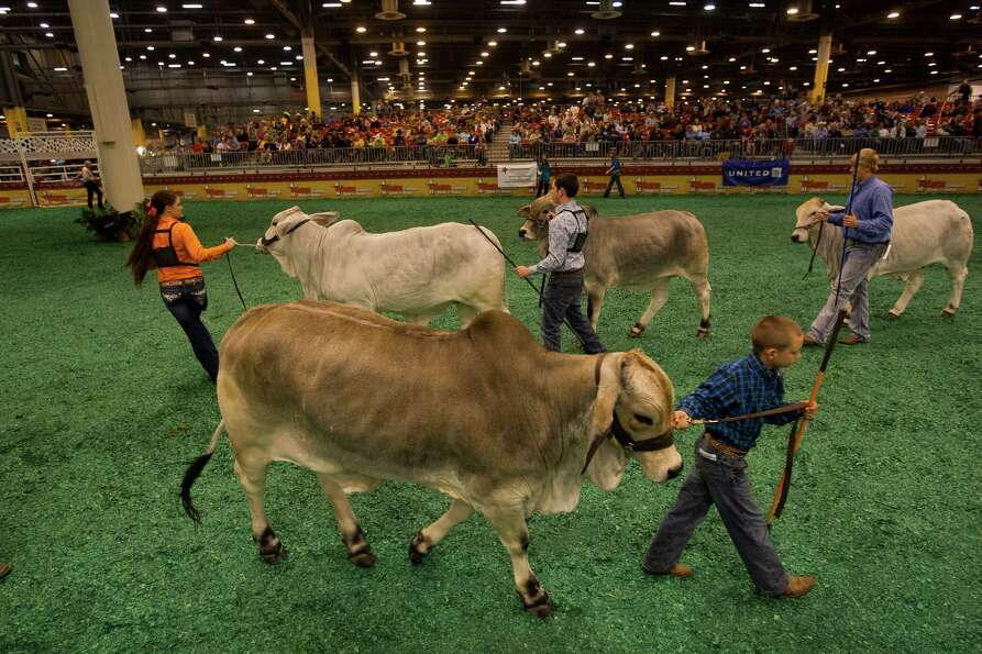 J.D. Sartwelle, 8, shows his Brahman heifer named Sugie as he participated in the Junior Breeding Be