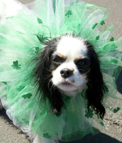 Dogs in festive attire are shown off during Saturday's Saint Patrick's Day parade in Stamford, Conn., on March 9, 2013. Photo: Lindsay Perry / Stamford Advocate