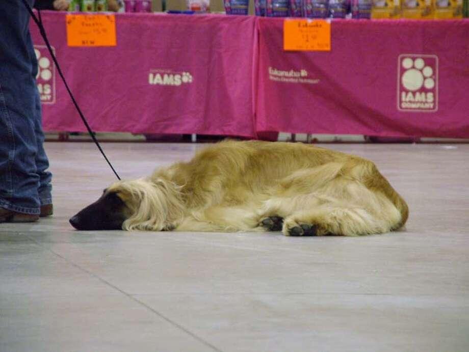 mySpy: Alamo City Cluster of Dog Shows, March 9, 2013 Photo: Pam Howell