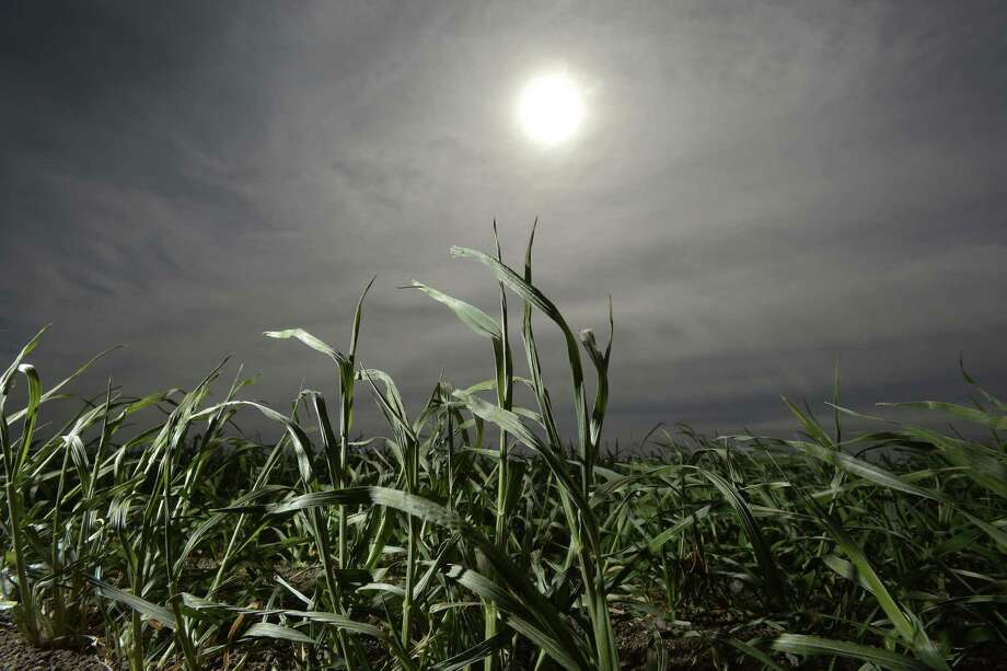 Winter wheat grows in a field near Uvalde. The crop uses less water than does onions, but brings in a lower profit. Photo: Billy Calzada / San Antonio Express-News