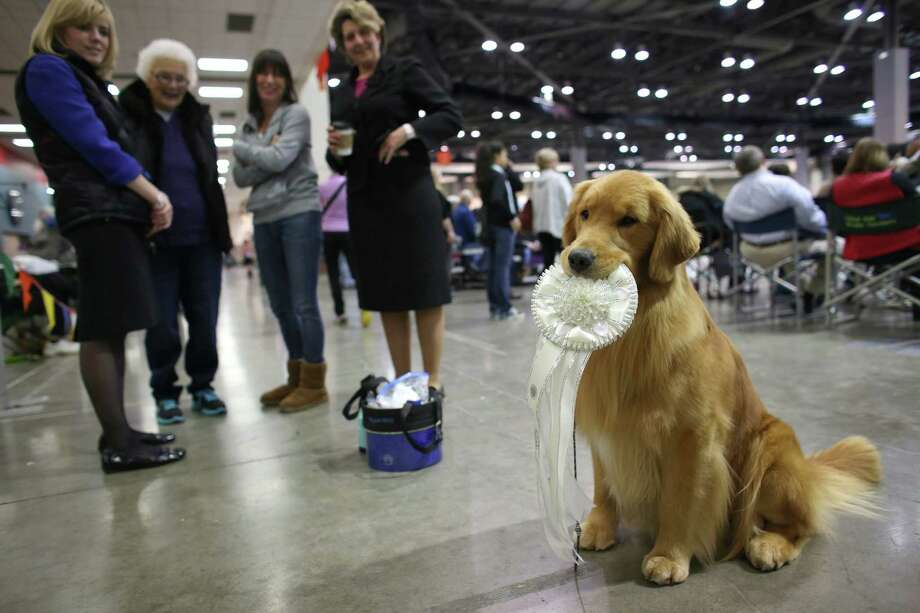 Watson, a golden retriever, holds onto his 4th place sporting group award after placing in the competition at the Seattle Kennel Club's Dog Show at CenturyLink Field Events Center. The show features nearly 2,000 dogs and their owners competing for Best in Show awards. Photographed on Saturday, March 9, 2013. Photo: JOSHUA TRUJILLO / SEATTLEPI.COM