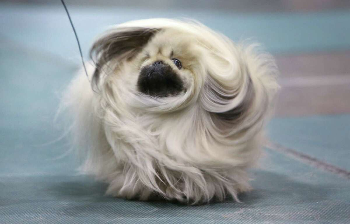 A pekingese is shown during the Seattle Kennel Club's Dog Show at CenturyLink Field Events Center. The show features nearly 2,000 dogs and their owners competing for Best in Show awards. Photographed on Saturday, March 9, 2013.