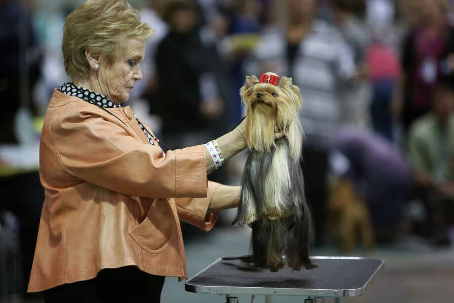 A dog is readied for judging during the Seattle Kennel Club's Dog Show at CenturyLink Field Events Center. The show features nearly 2,000 dogs and their owners competing for Best in Show awards. Photographed on Saturday, March 9, 2013. Photo: JOSHUA TRUJILLO / SEATTLEPI.COM