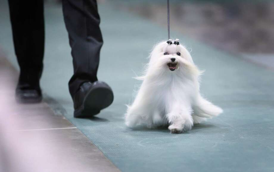A maltese is shown during the Seattle Kennel Club's Dog Show at CenturyLink Field Events Center. The show features nearly 2,000 dogs and their owners competing for Best in Show awards. Photographed on Saturday, March 9, 2013. Photo: JOSHUA TRUJILLO / SEATTLEPI.COM
