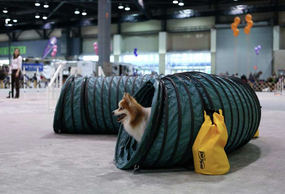 A dog competes on the agility course during the Seattle Kennel Club's Dog Show at CenturyLink Field Events Center. The show features nearly 2,000 dogs and their owners competing for Best in Show awards. Photographed on Saturday, March 9, 2013. Photo: JOSHUA TRUJILLO / SEATTLEPI.COM