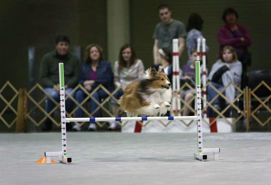 A dog competes on the agility course during the Seattle Kennel Club's Dog Show at CenturyLink Field