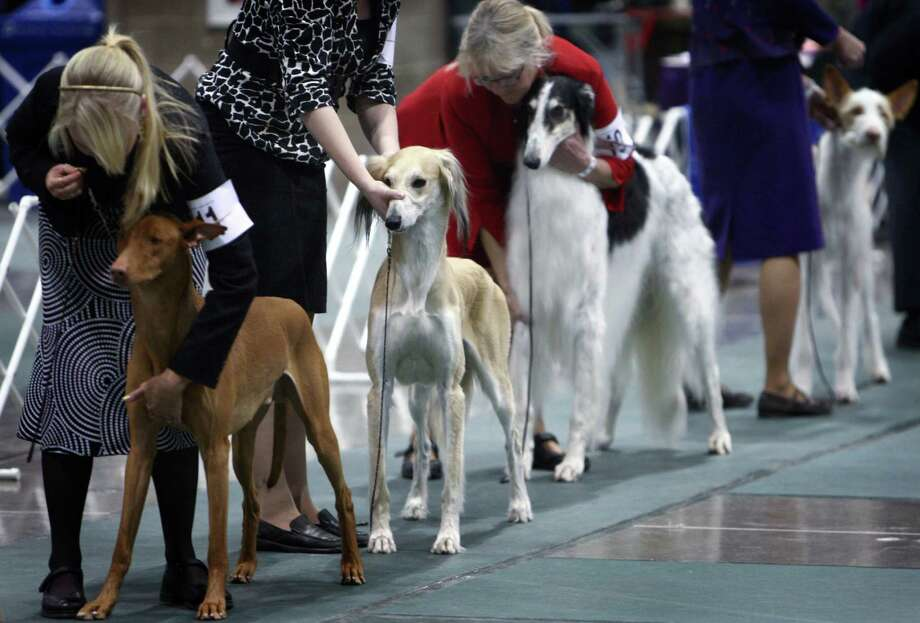 Dogs wait to be shown during the Seattle Kennel Club's Dog Show at CenturyLink Field Events Center. The show features nearly 2,000 dogs and their owners competing for Best in Show awards. Photographed on Saturday, March 9, 2013. Photo: JOSHUA TRUJILLO / SEATTLEPI.COM