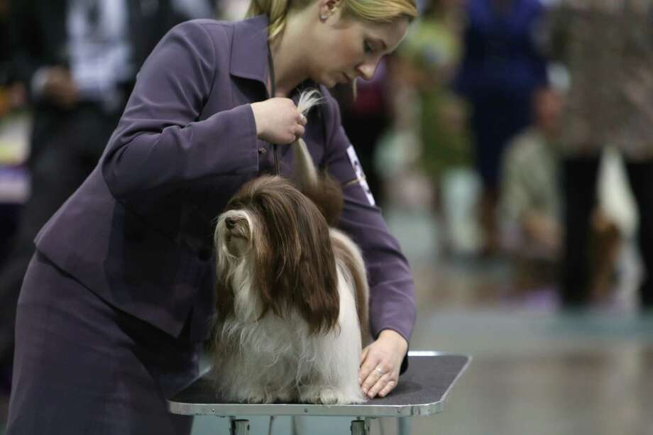 A handler readies her dog on the competition floor during the Seattle Kennel Club's Dog Show at CenturyLink Field Events Center. The show features nearly 2,000 dogs and their owners competing for Best in Show awards. Photographed on Saturday, March 9, 2013. Photo: JOSHUA TRUJILLO / SEATTLEPI.COM