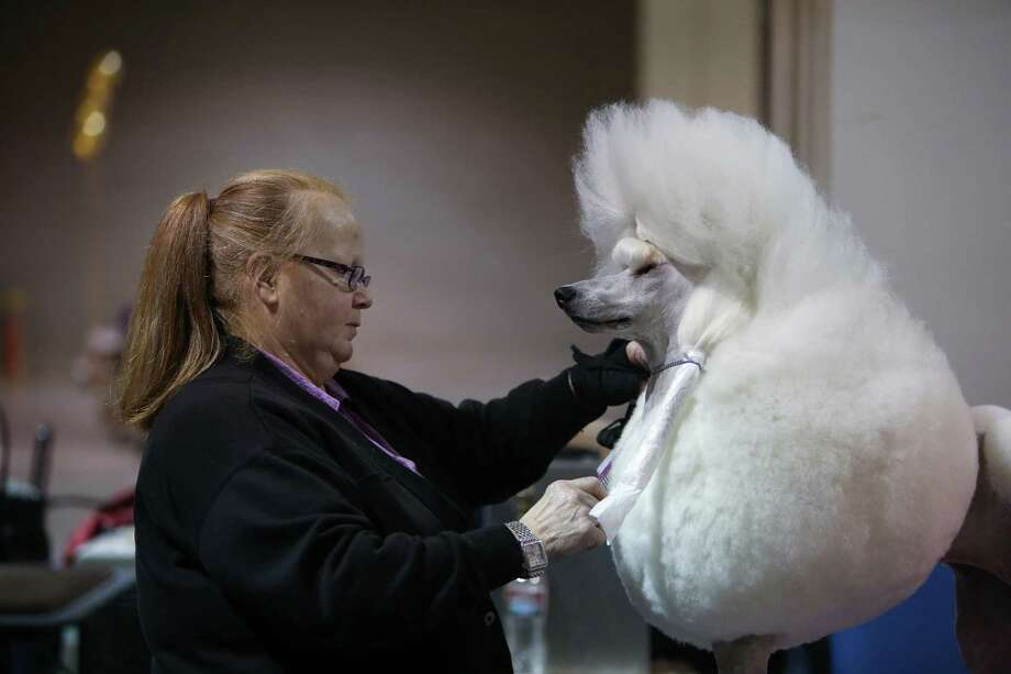 Penny Dugan of Bothell readies standard poodle Ally for a competition during the Seattle Kennel Club's Dog Show at CenturyLink Field Events Center. The show features nearly 2,000 dogs and their owners competing for Best in Show awards. Photographed on Saturday, March 9, 2013. Photo: JOSHUA TRUJILLO / SEATTLEPI.COM