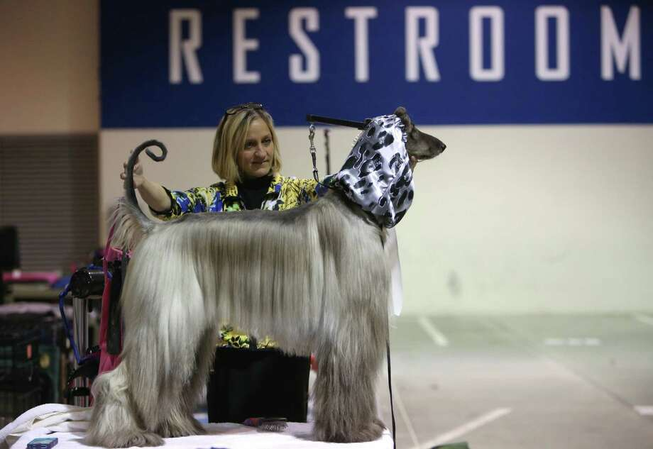 Darla Hichborn of Florida grooms Afghan hound Pete during the Seattle Kennel Club's Dog Show at CenturyLink Field Events Center. Pete is an international championship dog. The show features nearly 2,000 dogs and their owners competing for Best in Show awards. Photographed on Saturday, March 9, 2013. Photo: JOSHUA TRUJILLO / SEATTLEPI.COM
