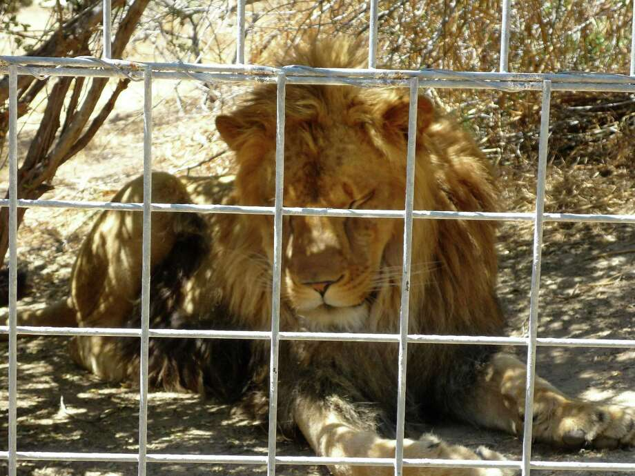 This 2012 photo provided by KFSN-TV shows a 4-year-old male African lion named Couscous at Cat Haven, a private wild animal park in Dunlap, Calif. Authorities say the lion killed a female intern-volunteer on Wednesday, March 6, 2013, at Cat Haven, where the cat had been raised since it was a cub. The intern was attacked and fatally injured after getting into an enclosure with the lion, Fresno County sheriff's Sgt. Greg Collins said. (AP Photo/KFSN-TV)  Photo: AP