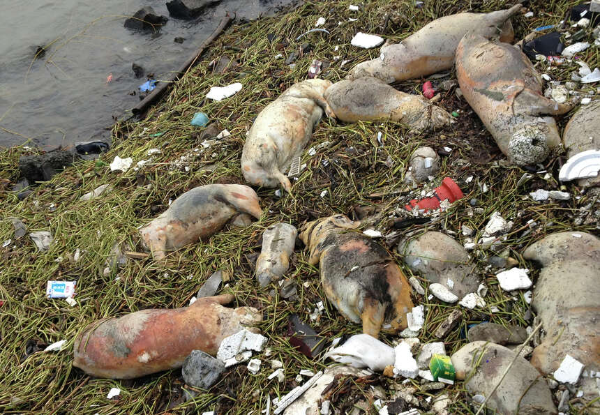 Dead pigs are strewn along the riverbanks of Songjiang district in Shanghai, China, on Thursday. Chi