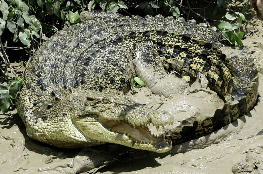 Crocodiles are not among the animals that could be getting more international protection at the triennial meeting of the Convention on International Trade in Endangered Species of Wild Fauna and Flora. Polar bears have already lost out, and for animals such as the crocodile the push is actually for fewer restrictions. Photo: AP