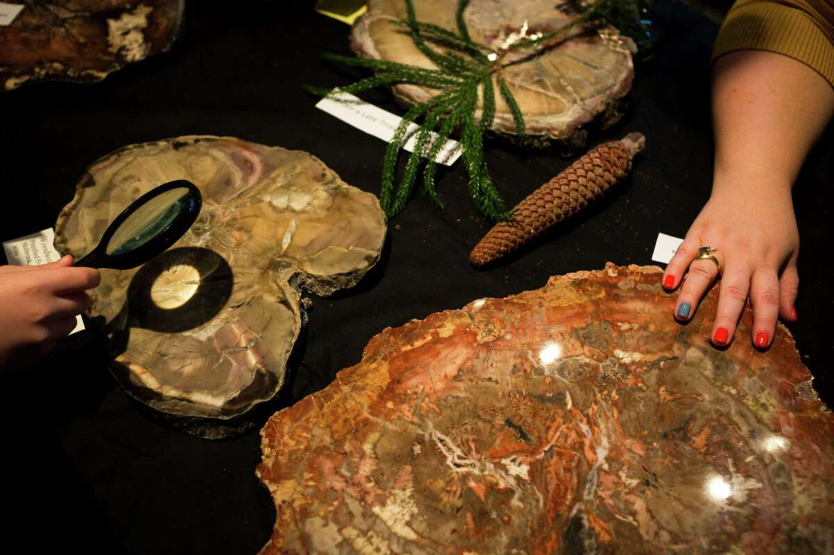 Attendees observe fossil details, right, as experts discuss petrified wood slices, right, during the annual Dino Day event Sunday, March 10, 2013, at the Burke Museum in Seattle.