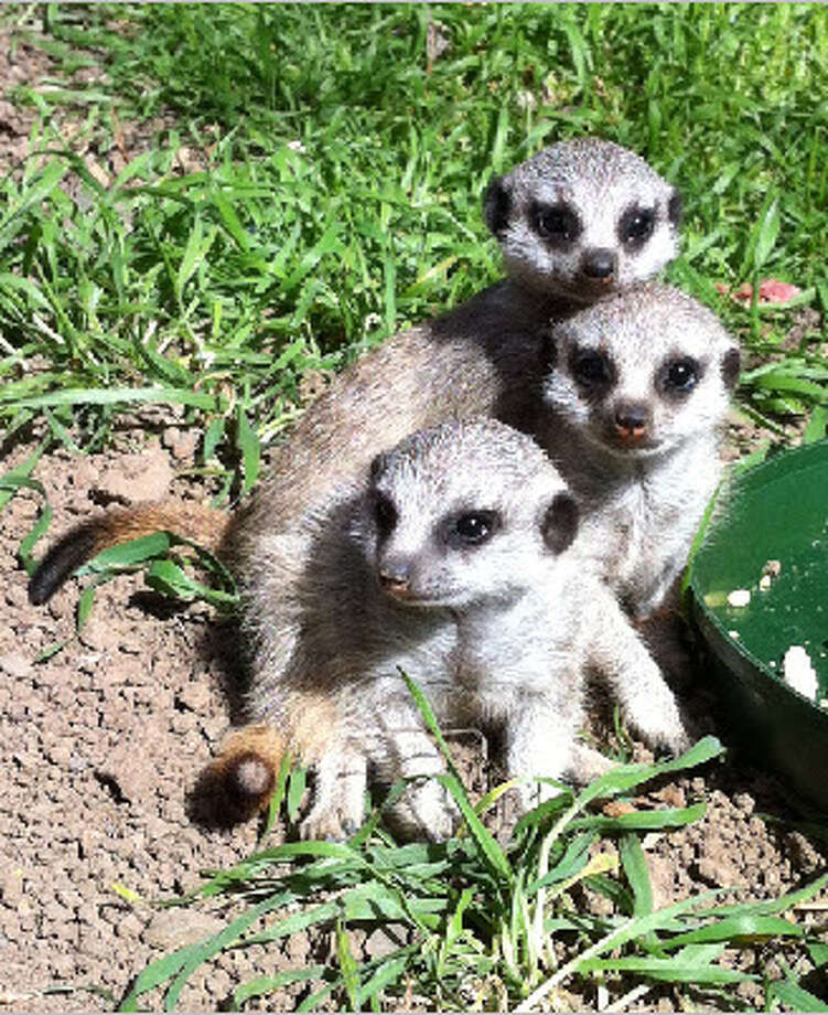 Three meerkats, named Ayo, Rufaro, and Nandi, are joining the mob at the Oakland Zoo. (Bay City News Service)