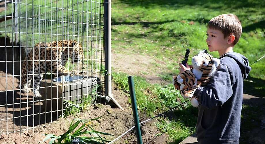 Morgan Cabral, 8, holds a stuffed tiger toy as he takes a tour at Project Survival's Cat Haven in Fresno, Calif., Sunday, March 10, 2013. At left is a jaguar. The California animal sanctuary where an African lion killed a 24-year-old intern reopened to the public Sunday with the support of the victim's family.  Photo: Mark Crosse, Associated Press