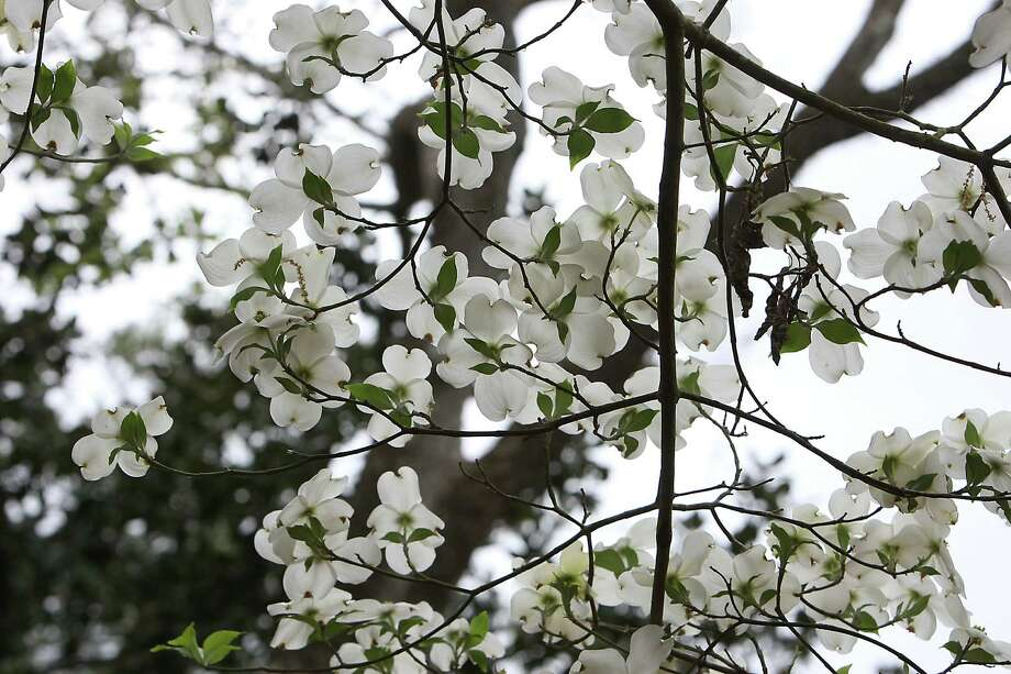 A Flowering Dogwood tree at the Bayou Bend Gardens during the River Oaks Garden Club 78th Annual Azalea Trail Saturday, March 9, 2013, in Houston. Photo: James Nielsen, Houston Chronicle / © 2013  Houston Chronicle