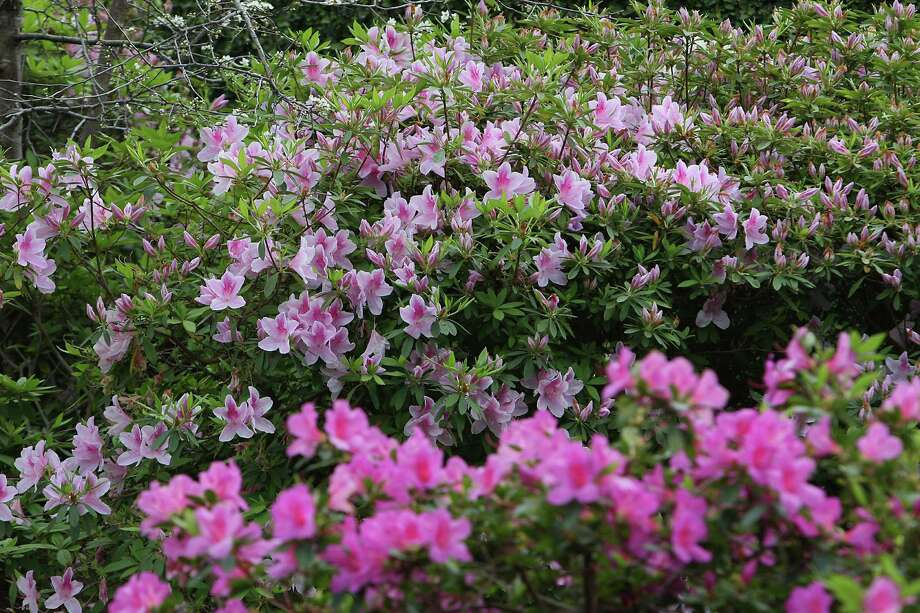 during the River Oaks Garden Club 78th Annual Azalea Trail at 1620 River Oaks Blvd Bayou Bend Gardens at 2940 Lazy Lane at Reinzi located at 1406 Kirby Saturday, March 9, 2013, in Houston. Photo: James Nielsen, Houston Chronicle / © 2013  Houston Chronicle