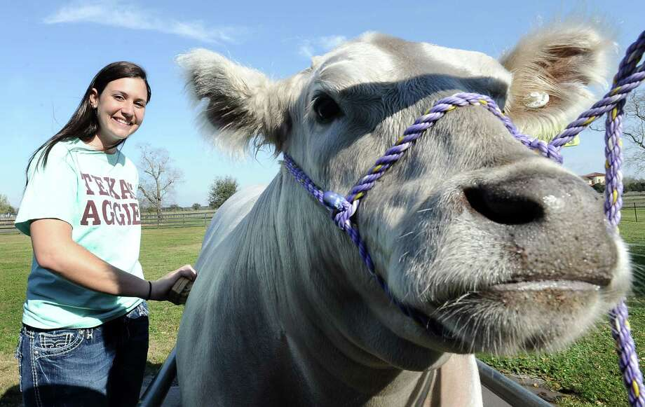 Seventeen year old Hardin Jefferson High School senior, Allie Roby, grooms her nearly two year old Charolais steer, Bullet, that will be shown at the Houston Livestock Show on Thursday, March 14, 2013.   Photo taken: Randy Edwards/The Enterprise Photo: Randy Edwards