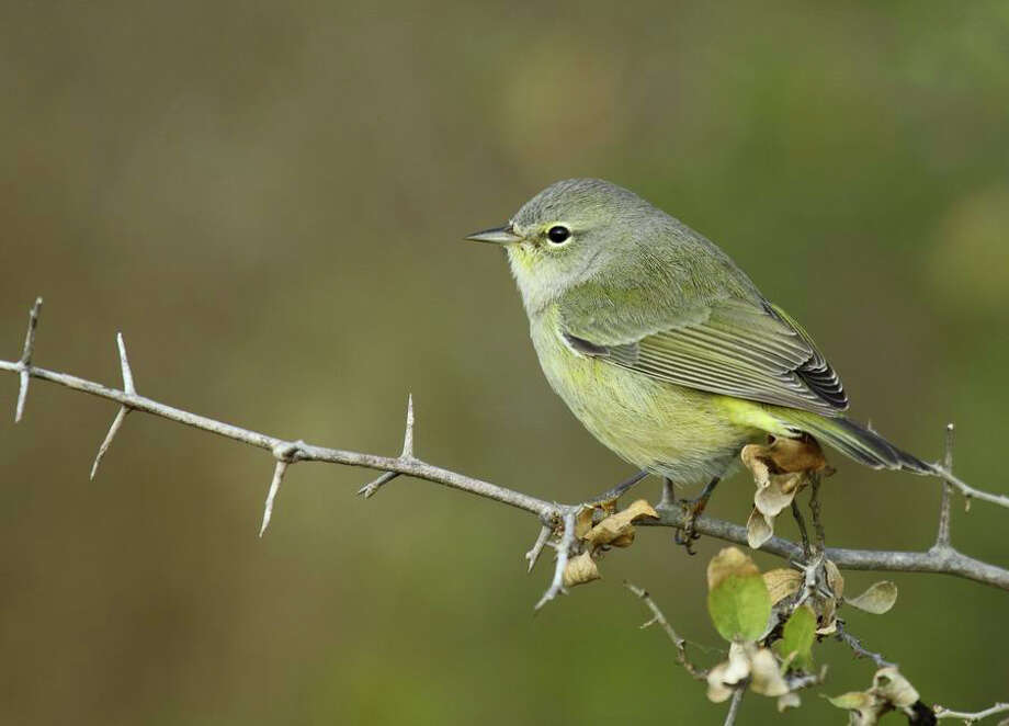 The orange-crowned warbler is among the species of birds spotted at the San Antonio Botanical Garden. Being on the bird migration route, the garden sees large numbers of varied species.  Photo: MARCIN KOTJA