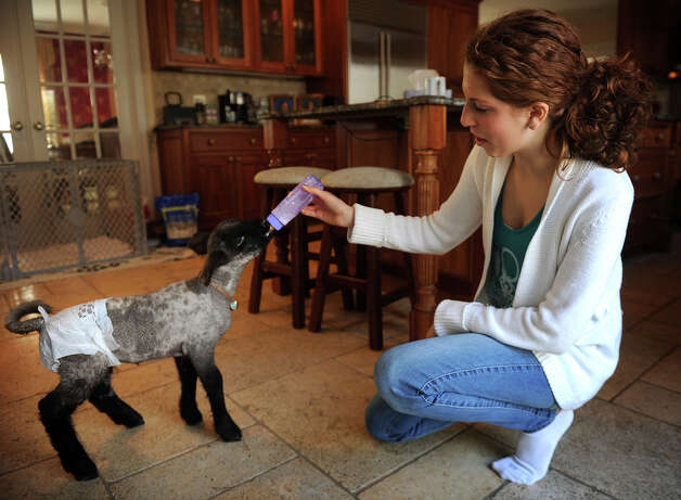 Sophia Tramuta, 16 of Milford, bottle feeds lamb Chihiro at her home on Sunday, March 10, 2013. Tramuta, a student at Trumbull High School's Agriscience Center, is raising the lamb at home, after it was rejected by it's mother. Photo: Brian A. Pounds / Connecticut Post
