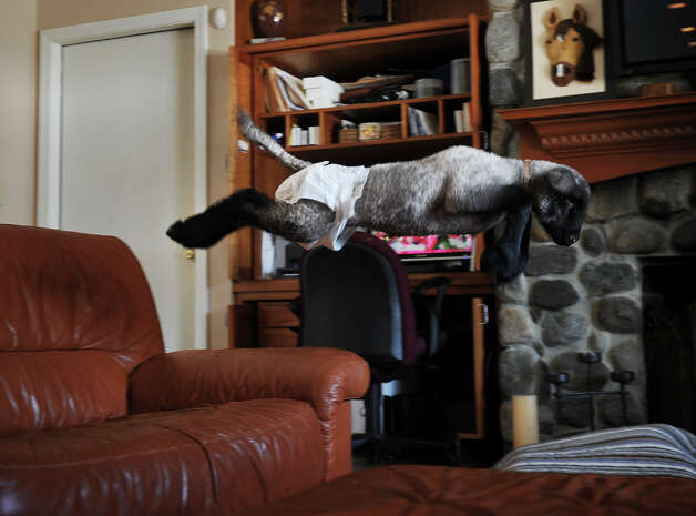 Lamb Chihiro leaps from couch to ottoman at Sophia Tramuta's home in Milford on Sunday, March 10, 2013. Tramuta, a student at Trumbull High School's Agriscience Center, is raising the lamb at home, after it was rejected by it's mother. Photo: Brian A. Pounds / Connecticut Post