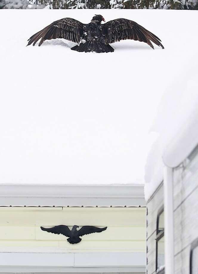 Eagle mania:A turkey vulture mimics an ornamental symbol of America in Sidney, Ohio. Photo: Luke Gronneberg, Associated Press